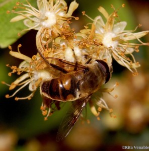 This is a honeybee mimic.