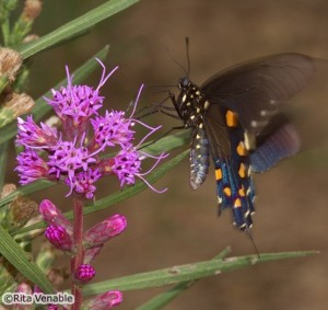 A Pipevine Swallowtail nectars on blazing star in the parking lot at Shelby Farm Park.